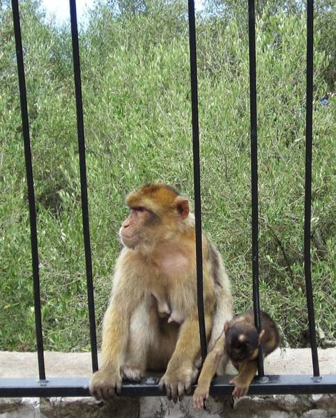 Photograph - Gibraltar Apes Monkeys Baby II Uk Territory by John Shiron