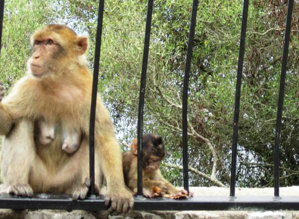 Photograph - Gibraltar Apes Monkeys Baby Iv Uk Territory by John Shiron
