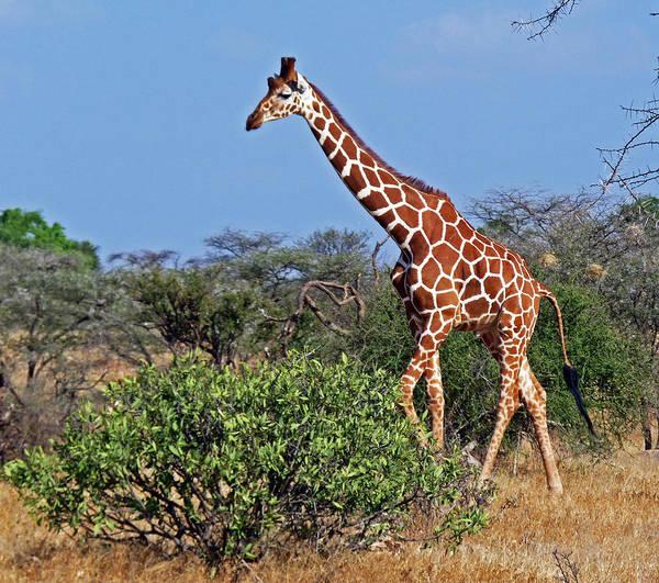 Photograph - Giraffe Against Blue Sky by Tony Murtagh
