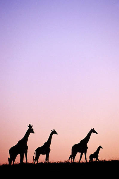 Giraffe Photograph - Giraffe At Sunset, Eastern Cape, South Africa by John Seaton Callahan