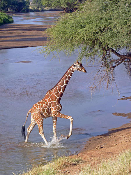 Giraffe Crossing Stream Art Print