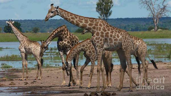 Photograph - Giraffe Family by Mareko Marciniak