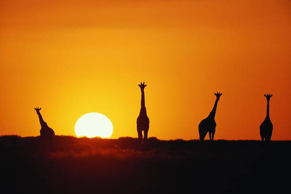 Giraffe Photograph - Giraffe Herd (giraffa Camleopardalis) Sunset, Silhouette by Paul Souders