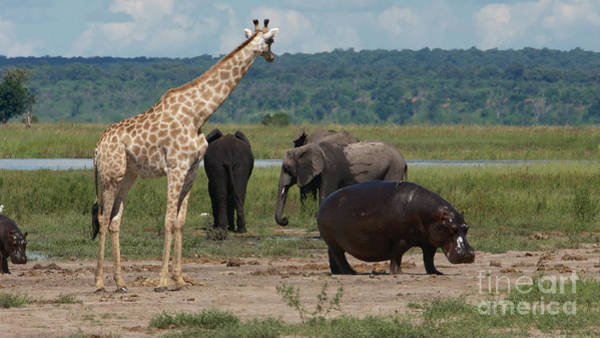 Photograph - Giraffe Hippos And Elephants by Mareko Marciniak
