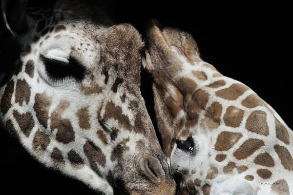 Photograph - Giraffe Snuggle by Pam  Holdsworth