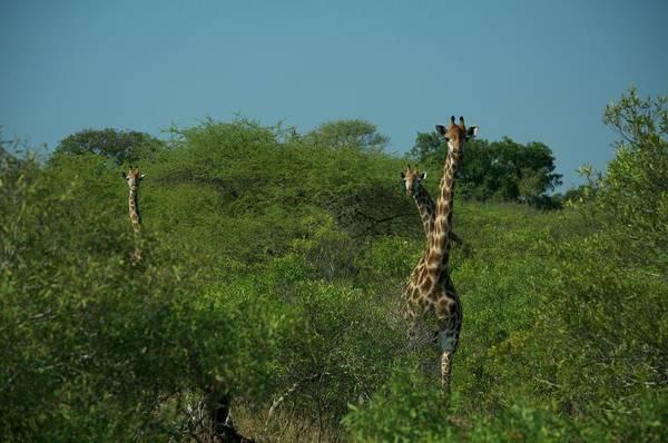 Wall Art - Photograph - Giraffe Where by Nancy Morrison