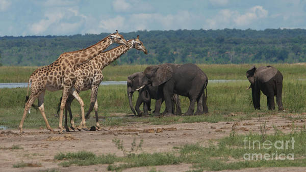 Photograph - Giraffes And Elephants by Mareko Marciniak