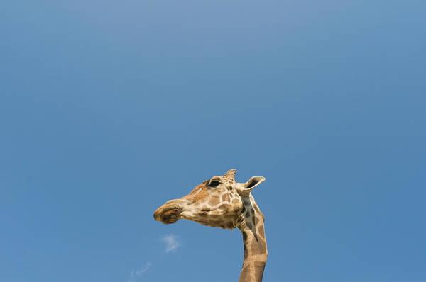 Giraffe Photograph - Giraffe's Head by Tsuneo Yamashita