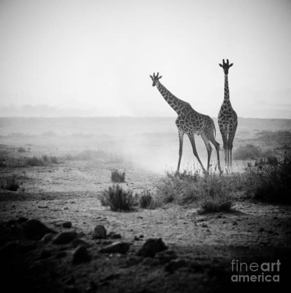Giraffe Photograph - Giraffes In Amboseli National Park Kenya by Konstantin Kalishko