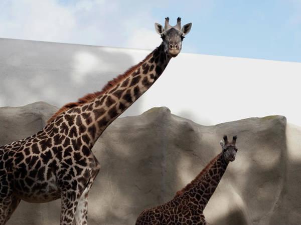 Photograph - Giraffes In Step by Lorraine Devon Wilke
