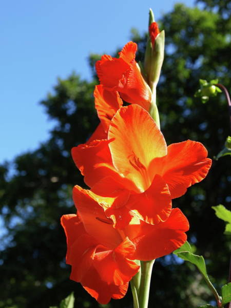 Photograph - Gladiola - 1 by Jeffrey Peterson