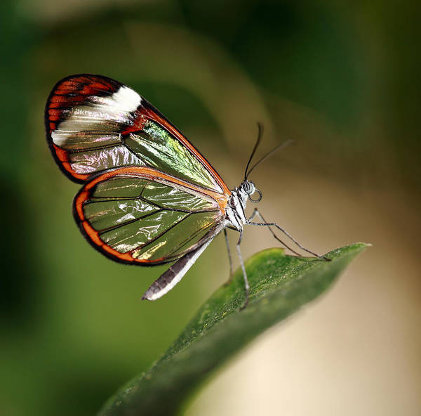 Wall Art - Photograph - Glasswing Butterfly by Grant Glendinning