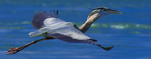 Photograph - Gliding Great Blue Heron by Sebastian Musial