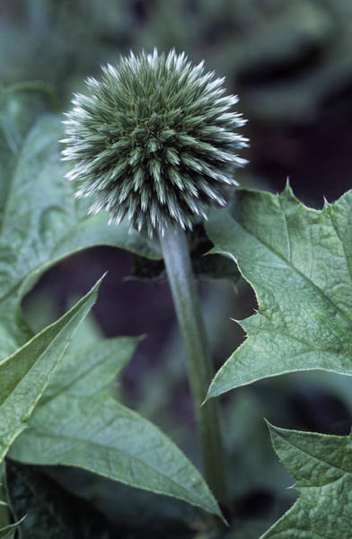 Unopened Wall Art - Photograph - Globe Thistle 'veitch's Blue' by Maxine Adcock