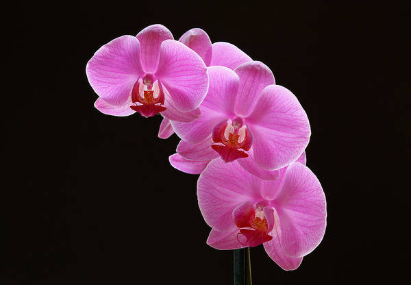 Neon Pink Photograph - Glorious Pink Orchids by Juergen Roth