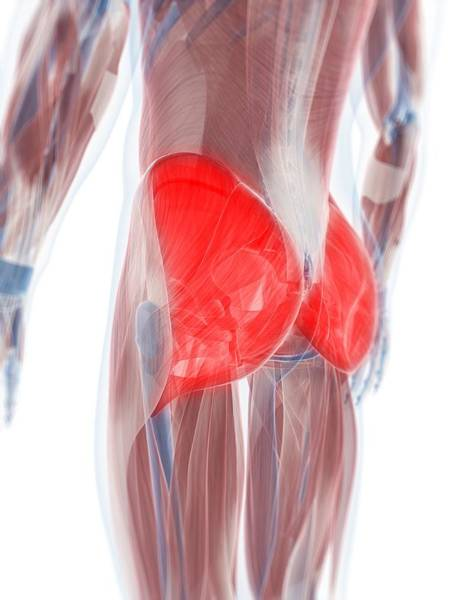Buttocks Digital Art - Gluteus Maximus Muscle, Artwork by Sciepro