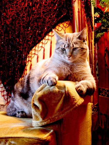 Manx Cat Wall Art - Photograph - Gold Wing Chair by Kathleen Horner