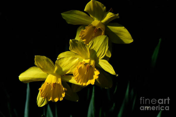 Photograph - Golden Bells by Lois Bryan