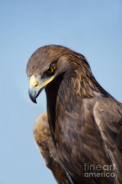 Photograph - Golden Eagle by Donna Greene