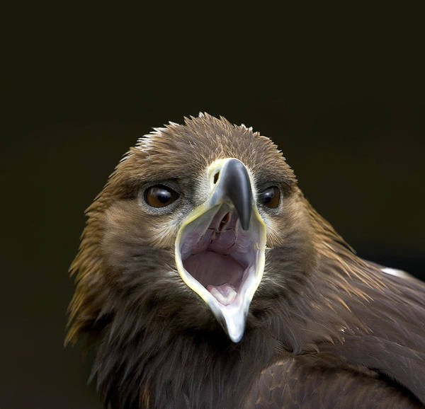 Squawk Photograph - Golden Eagle by Linda Wright