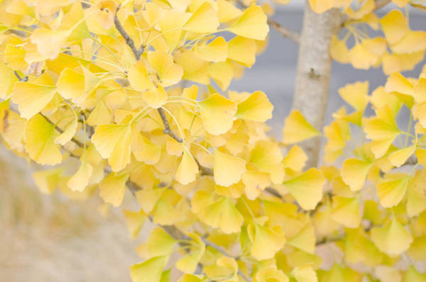 Photograph - Golden Ginko Tree by Margaret Pitcher