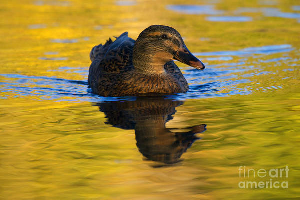 Waterfowl Wall Art - Photograph - Golden Hen by Mike  Dawson