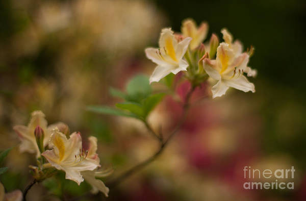 Rhododendrons Photograph - Golden Morning by Mike Reid