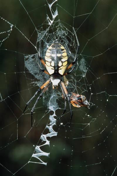 Golden Orb Spider Photograph - Golden Orb Weaver Spider by Georgette Douwma