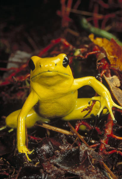 Photograph - Golden Poison Dart Frog Phyllobates by Mark Moffett