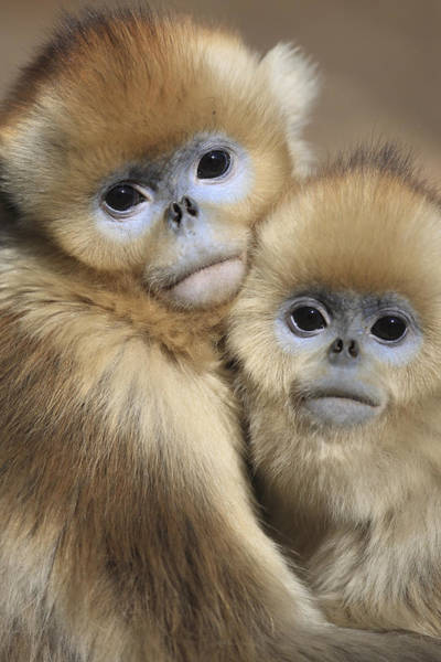 Wall Art - Photograph - Golden Snub-nosed Monkeys by Cyril Ruoso