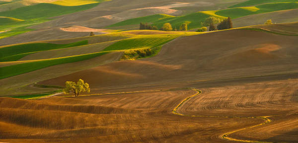 Wall Art - Photograph - Golden Tree At Sunset On The Palouse by Alvin Kroon