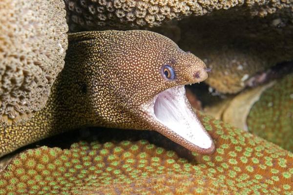 Wall Art - Photograph - Goldentail Moray Eel by Clay Coleman