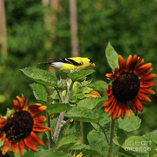 Photograph - Goldfinch And Sunflowers by Byron Varvarigos