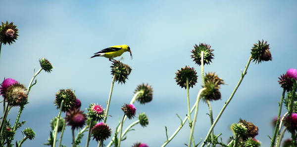 Photograph - Goldfinch Eating Flowerseeds by Emanuel Tanjala