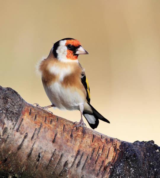 Photograph - Goldfinch by Grant Glendinning
