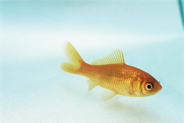 Ornamental Fish Photograph - Goldfish by David Aubrey