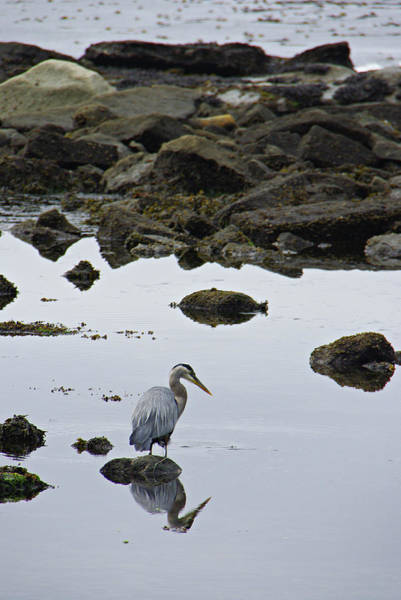 Photograph - Heron At Botanical Beach by Marilyn Wilson