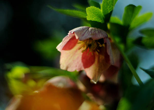 Photograph - Good Morning Hellebore by Rebecca Sherman
