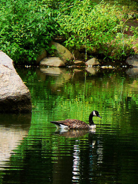 Photograph - Goose Floating On Pond by Susan Savad