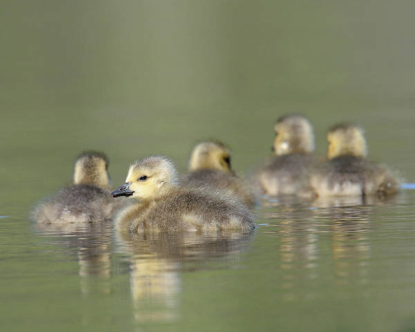 Photograph - Goslings by Craig Leaper