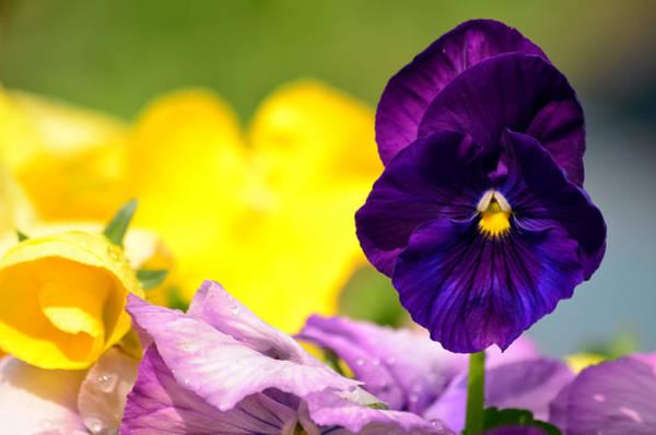 Photograph - Gotta Love A Purple Pansy by Lori Tambakis