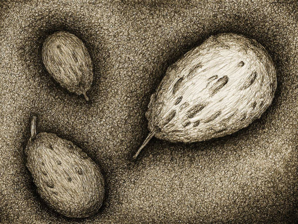 Coolidge Drawing - Gourds- Black by Sara Coolidge