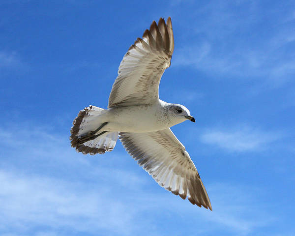 Photograph - Graceful Seagull by Sheila Kay McIntyre