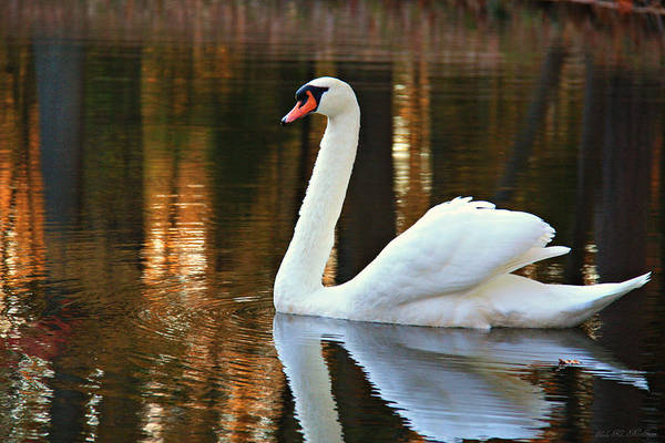 Photograph - Graceful Swan by Sheila Kay McIntyre