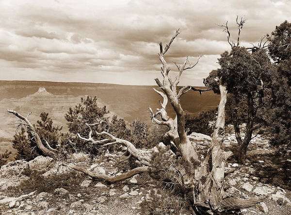 Photograph - Grand Canyon Through Old Trees by M K Miller