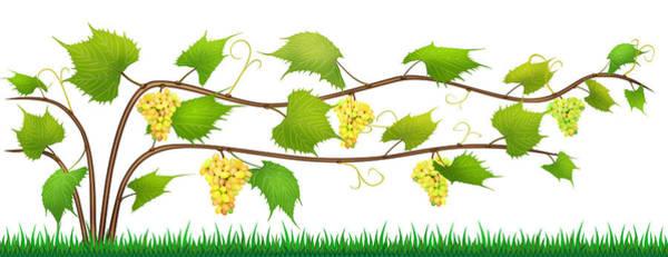 Wall Art - Digital Art - Grapes Isolated Bush With Berries by Aleksandr Volkov