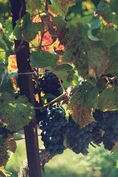 Grape Leaves Photograph - Grapes by Laurie Search