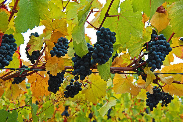 Photograph - Grapes On The Vine by Jani Freimann
