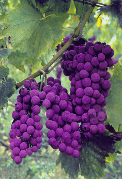 Lung Digital Art - Grapes by Richard McGee
