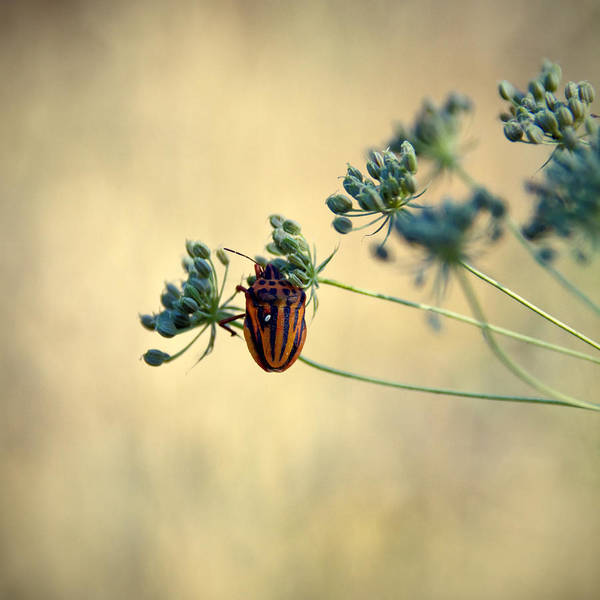 Wall Art - Photograph - Graphosoma Lineatum by Stelios Kleanthous